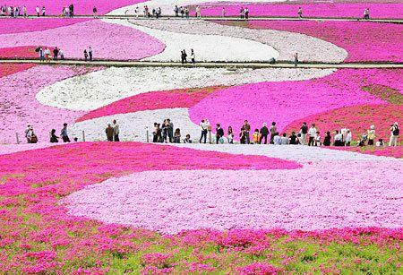 Ngắm hoa Chi Anh ở Hitsujiyama Koen Nhật Bản